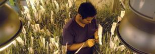 Adnan Riaz speed breeding wheat varieties.
