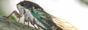 Tiny bumps on cicada wings repel water and dirt.