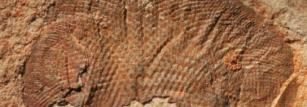 A fossil compound eye, around 515 million years old, from the Emu Bay Shale.
