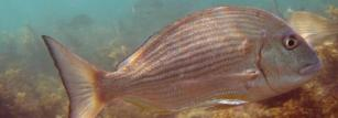 Sensors fitted to yellowfin bream revealed behavioural changes after rain.
