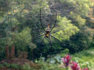 The giant wood spider