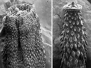 Scanning electron micrographs of the penis from a fawn hopping mouse (left) and spinifex hopping mouse (right) showing the narrower shaft but much larger spines that enable the spinifex hopping mouse's penis to lock into place during mating.