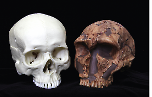 A modern human cranium (left) and a Neanderthal cranium (right). Modern humans have a globe-shaped braincase with steep sides, our foreheads lack a prominent bony ridge about the eye sockets, and our faces are shorter and flatter with scalloped cheeks. Credit: BirdImages/iStockphoto