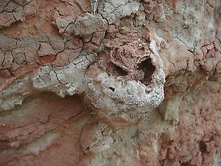 A 25 million-year-old termite nest with the remains of a fungus garden preserved inside. Credit: H. Hilbert-Wolf