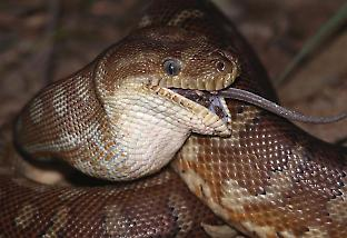 Snakes like this Stimson's python owe their evolutionary success to their big mo
