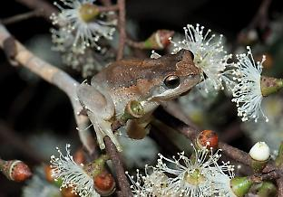 The effective population sizes of brown tree frogs crashed following the Black Saturday fires and had not fully recovered at the end of the study. Credit: D. Paul/Museums Victoria