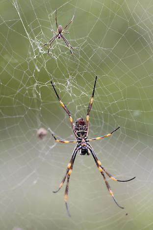 A large female golden orb-web spider