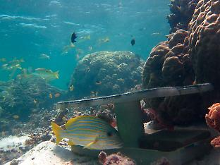 Some reef fish require large table corals to conceal them.