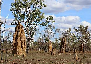 Figure 1. The relatively small size of the trees in the Top End's savanna environments may not have been able to support termite colonies, leading them to evolve mounds whose size was not restricted by tree diameter. Credit: Jan Sobotnik