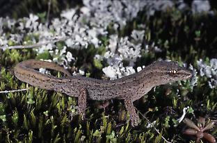 The clawless gecko  actually consists of ten or more species.