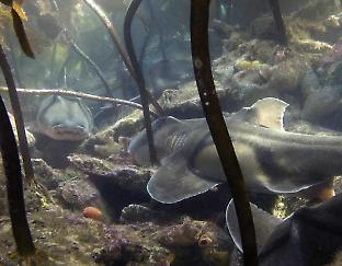 A group of Port Jackson sharks under kelp at their mating aggregation site in Jervis Bay, NSW. Credit: Johann Mourier
