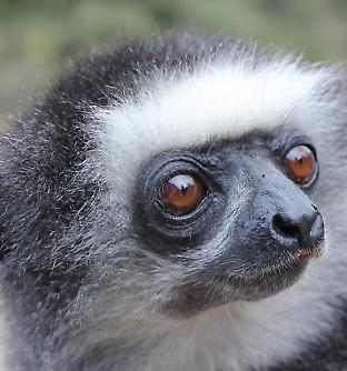 Propithecus diadema, the diademed sifaka.  Credit: Mitchell Irwin