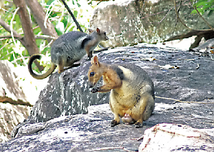 short-eared rock wallabies