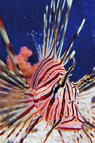 The red lionfish hides in plain sight using stripes and fins that disrupt the b