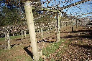 Tunnelling bacteria caused the premature failure of pine posts in a kiwi fruit orchard even though the posts had been pretreated with  a highly toxic wood preservative used to protect them against wood-degrading fungi.