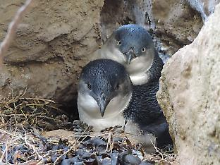 Little penguins