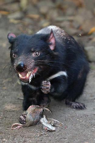With the decline in Tasmanian devil numbers due to disease, carcasses now persist more than twice as long in Tasmanian landscapes. Credit: Rafael Ben-Ari/Adobe