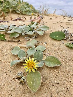 The beach daisy growing on the east coast of Australia.