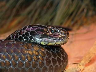 Tiger snakes on Chappell Island