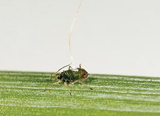 An aphid is tethered by a gold wire