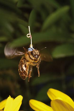A bee with a miniaturised transponder attached to its thorax