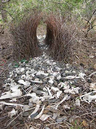 The bower of a great bowerbird with one display court visible in the foreground.