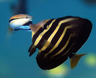 Tropical fish the sailfin tang visits a cleaner fish.
