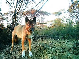 Dingoes eat more than 200 different species of birds, mammals and reptiles, as well as fish, frogs, beetles, grasshoppers, moths and even crabs.