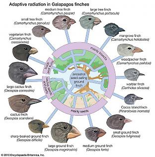 Cultural Evolution in Darwin's Finches