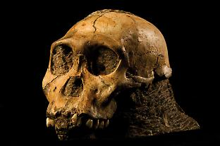 The skull of Australopithecus sediba from Malapa in South Africa.