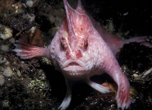 The pink handfish is one of nine newly described handfish species.