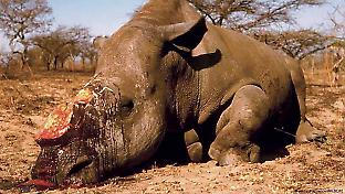 A white rhino slaughtered for its horn in southern Africa. © Picture Alliance