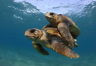 Adult male turtles may become less abundant as the climate warms, but the population sizes may actually increase because they breed more often than females. Credit: Kostas Papafitsoros