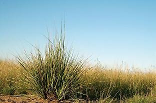 The native herb Lomandra stands in front of the invasive weed African lovegrass