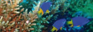 Goldtail damselfish. Credit: Mary Bonin