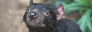 A healthy female Tasmanian devil.