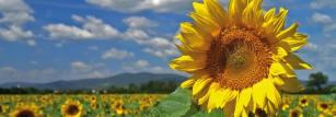 Sunflower seeds are an attractive system for making protein drugs.