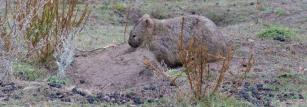 Common wombats mark their home range with their faeces.
