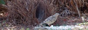 A great bowerbird at his bower.