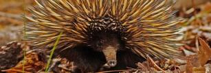 Echidnas move in the wild at an average speed of 1.3 km/h