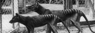 Two Tasmanian tigers in Hobart Zoo prior to 1921. Photographer unknown.