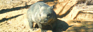 By the 1980s there were as few as 40 individual northern hairy-nosed wombats.