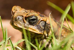Gene drives could make cane toads non-toxic, enabling predators to consume the toads safely and reduce their numbers.