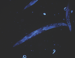 The transparent nature of the roundworm Caenorhabditis elegans makes it easy for scientists to study its cells. Credit: HoPo/Wikimedia Commons
