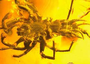 The 100-million-year-old spider Chimerarachne preserved in Burmese amber. Credit: Dr Diying Huang, Nanjing Institute of Geology and Palaoentology