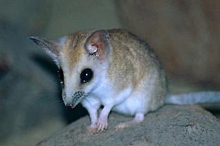The fat-tailed dunnart (Sminthopsis crassicaudata) is a model marsupial species that's frequently used in laboratory studies, and has the ancestral marsupial arrangement of chromosomes.