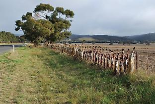 Fox carcasses are often strung up along fences, reminding landholders in the area of the continuing threat they pose to livestock. Credit: mattinbgn