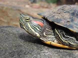 This red-eared slider turtle (Trachemys scripta elegans) was found in Adelaide in 2016, despite being banned in Australia. Credit: Pablo García Díaz