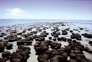 The oldest life on Earth is still going strong today. Stromatolites are communities made up largely of blue-green algae. This image shows a living colony of stromatolites at Shark Bay, Western Australia. Credit: Ken McNamara