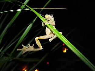 Frogs have to adjust their calls in order to be heard in noisy urban environment